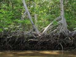 rhyzophora_mangle_red_mangrove_trees_small1